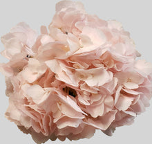 Load image into Gallery viewer, Champagne Tinted Hydrangea $4.29 x stem  30 stems x box