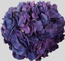 Load image into Gallery viewer, Jumbo Purple Hydrangea $8.90 x stem  10 stems x box