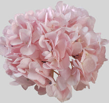 Load image into Gallery viewer, Light Pink Tinted Hydrangea $4.29 x stem  30 stems x box