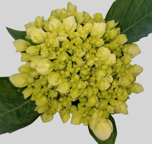 Minigreen White Hydrangea $2.20 x stem 40 stems x box