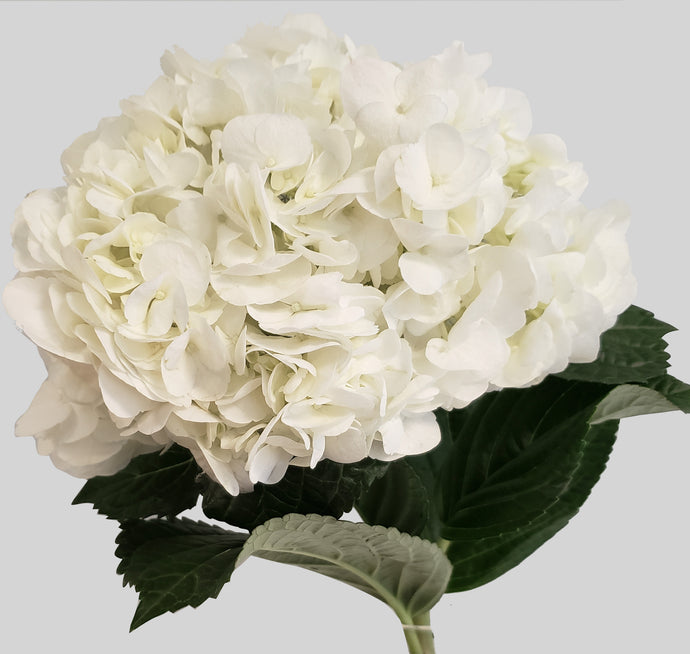 Premium White Hydrangea $3.29 x stem 30 stems x box