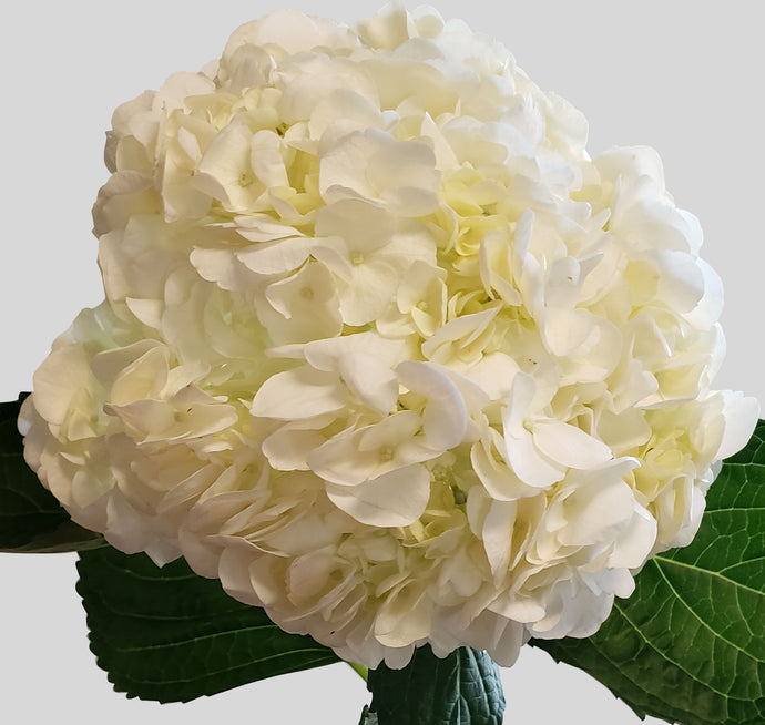 Select White Hydrangea $2.80  x stem  35 stems x box