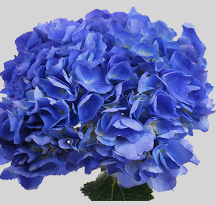 Select Shocking Blue Hydrangea $4.10  x stem  35 stems x box