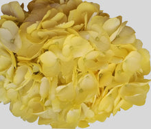 Load image into Gallery viewer, Yellow Tinted Hydrangea $4.49 x stem  30 stems x box