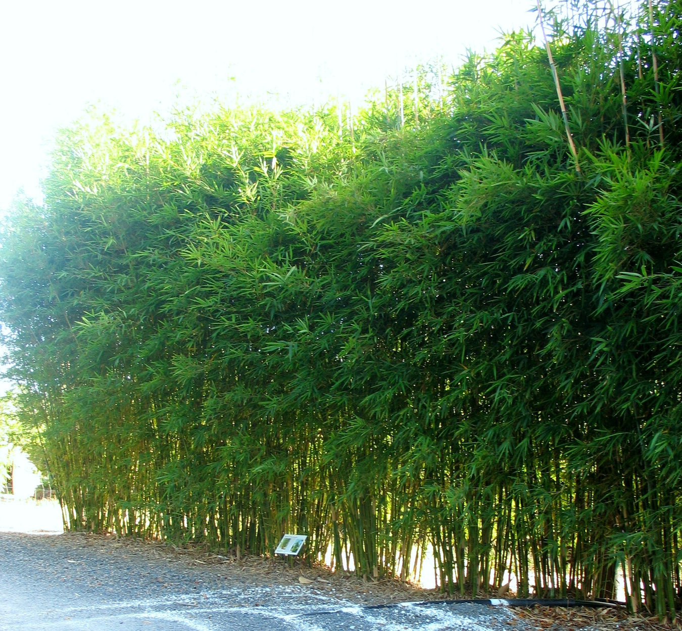 Gracilis Most Popular Screening Bamboo
