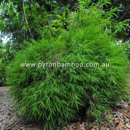 Malay Pygmy Grass (POG)