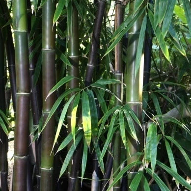 Black Bamboo - Timor Black