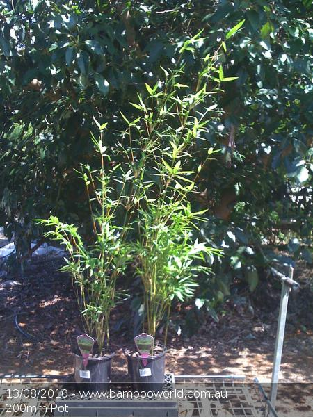 Golden Goddess Bamboo (Bambusa multiplex cv Golden Goddess)