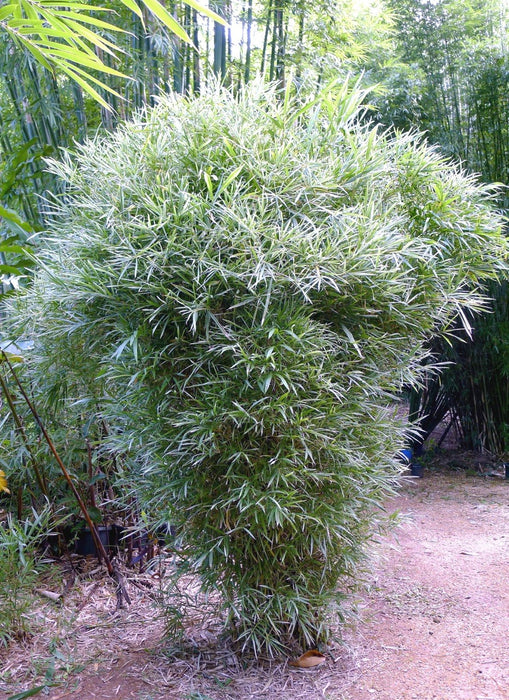 Stand alone bamboo - dry tolerant