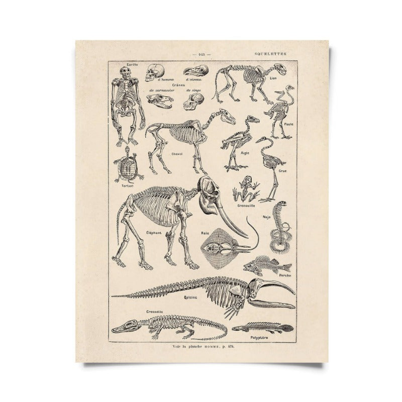 Vintage Natural History French Skeletons Print
