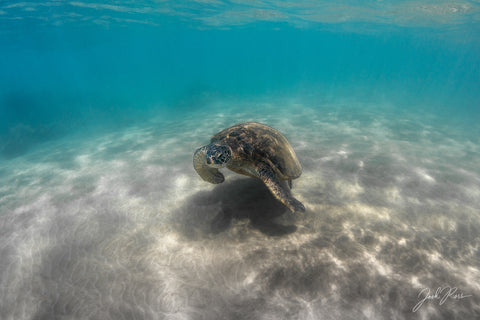 Honu Shadow