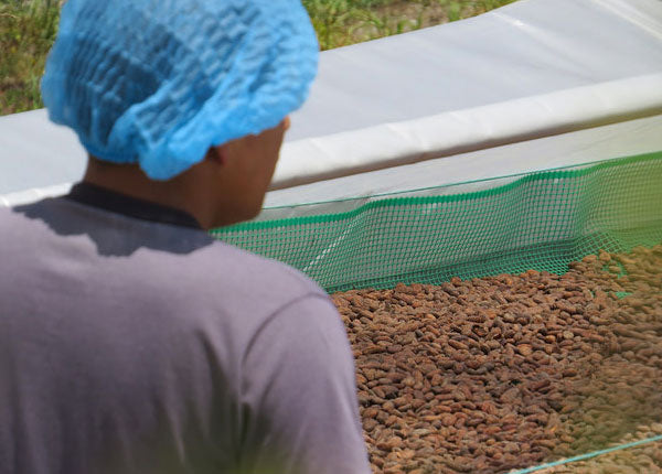 How Cacao Beans are Dried for Export