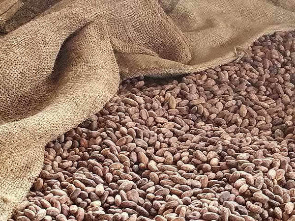 Cocoa Beans Organic CCN-51