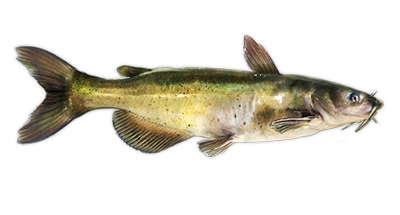 Channel Catfish Decal