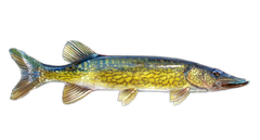 Chain Pickerel Decal