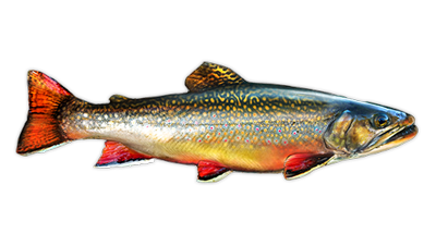 Brook Trout Decal