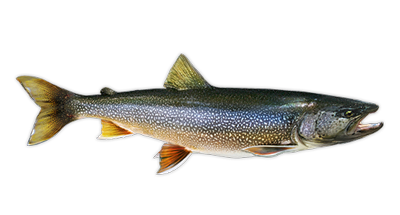 Lake Trout Decal