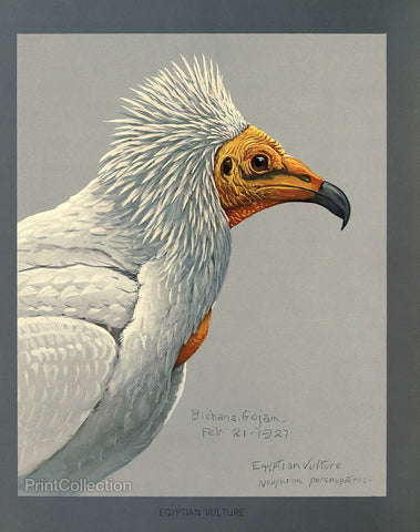 Abyssinian Egyptian Vulture
