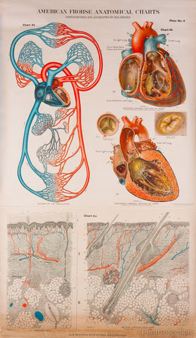 American Frohse Anatomical Wallcharts, Plate 4