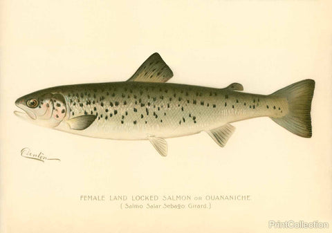 Female Land Locked Salmon