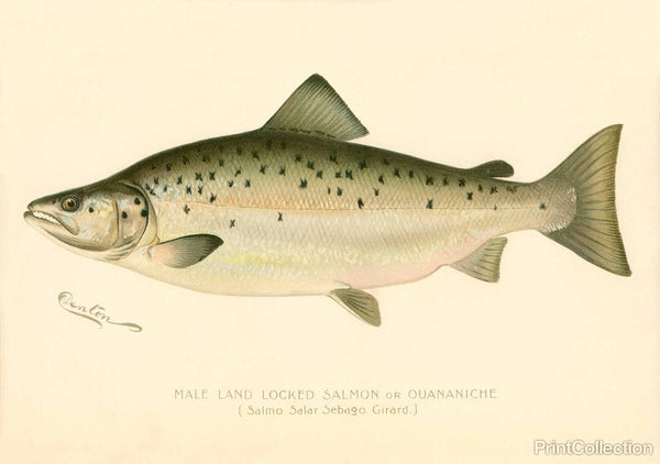 Male Land Locked Salmon