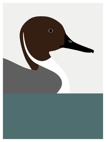 Duck, Northern Pintail
