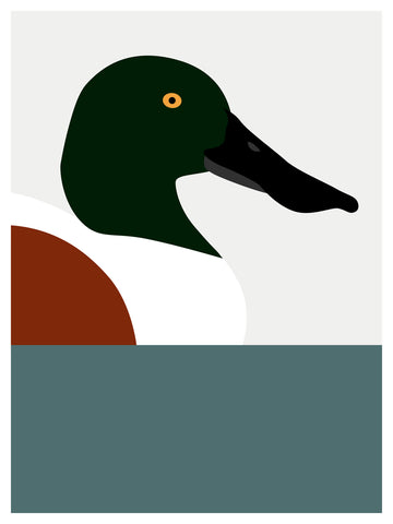 Duck, Northern Shoveler