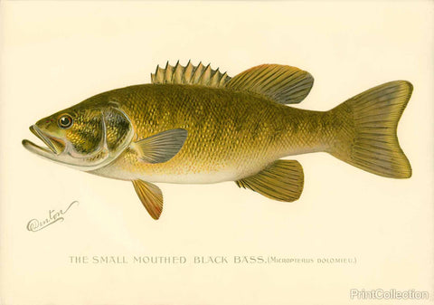 Small Mouthed Black Bass