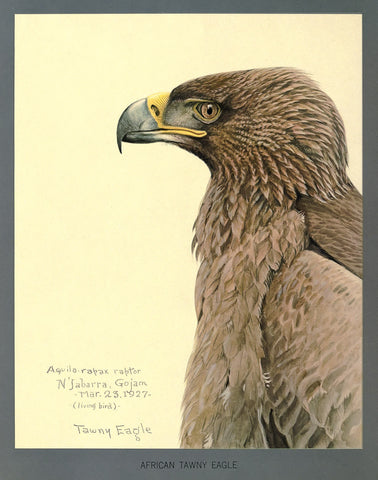 African Tawny Eagle
