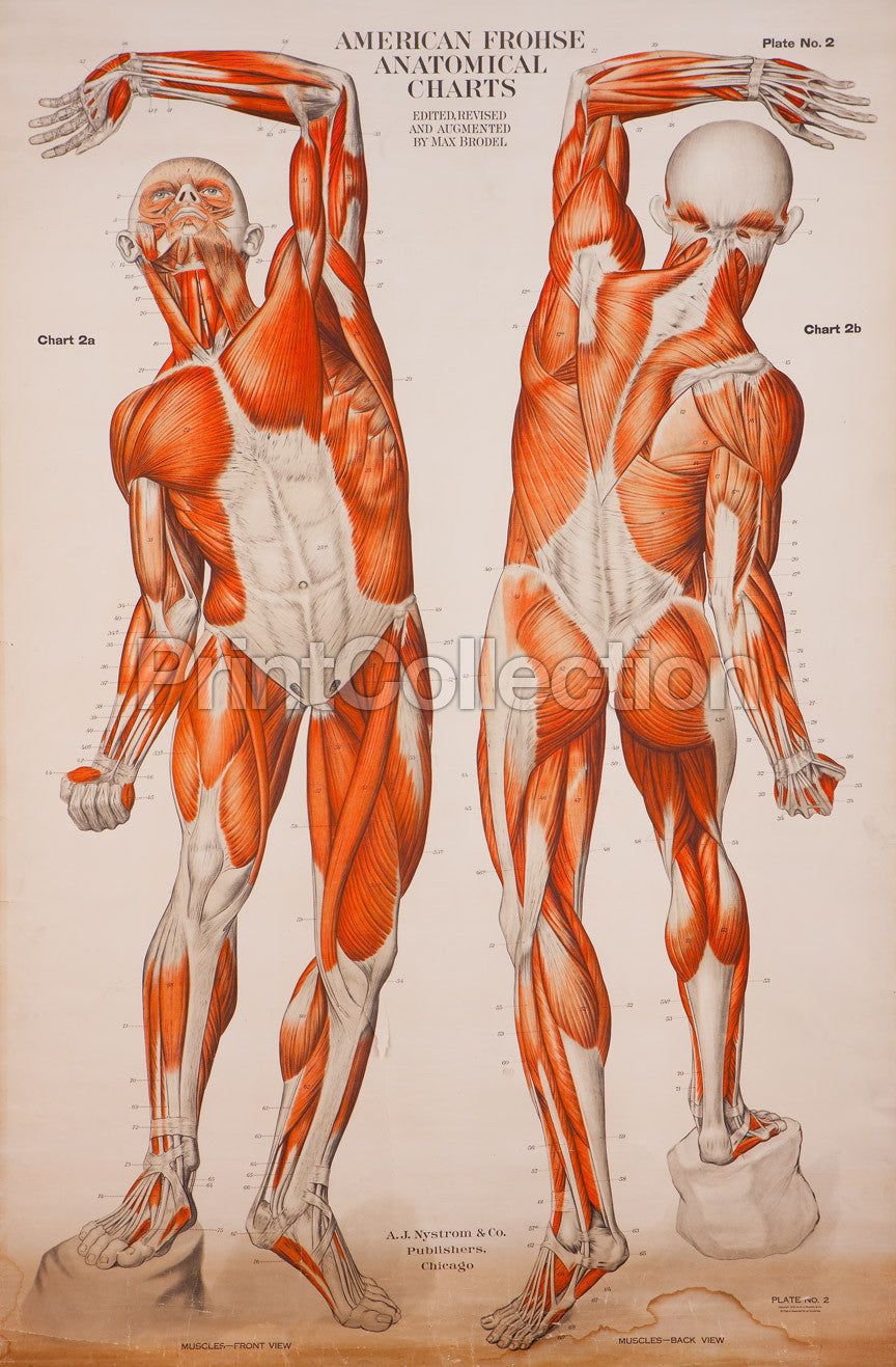 Print Collection - American Frohse Anatomical Wallcharts, Plate 2