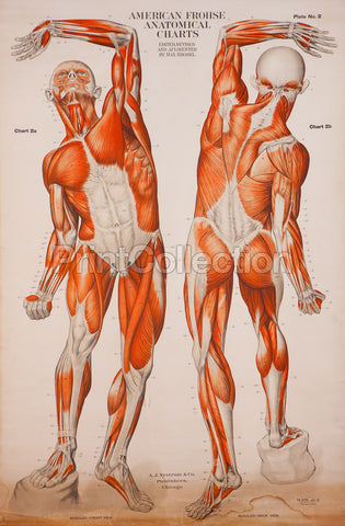 American Frohse Anatomical Wallcharts, Plate 2