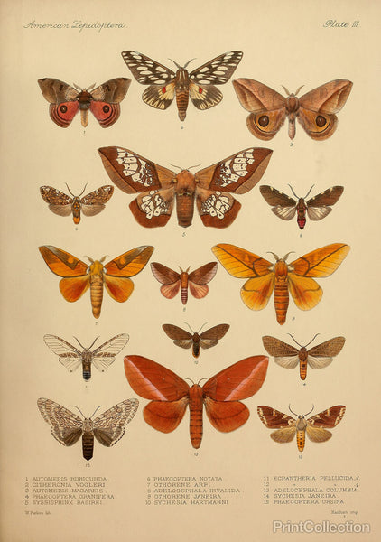 American Lepidoptera, Plate 3
