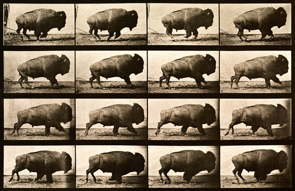 Buffalo Running, Animal Locomotion Plate 700