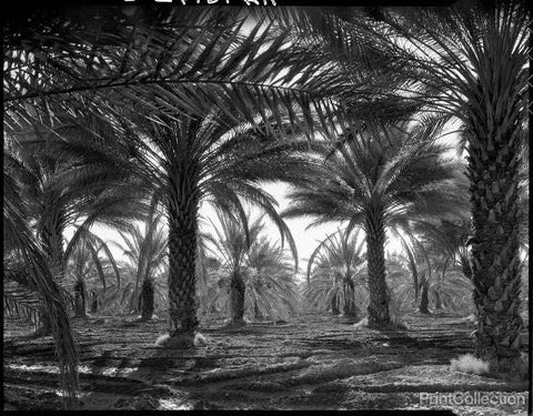 Date Palms. Coachella Valley, California