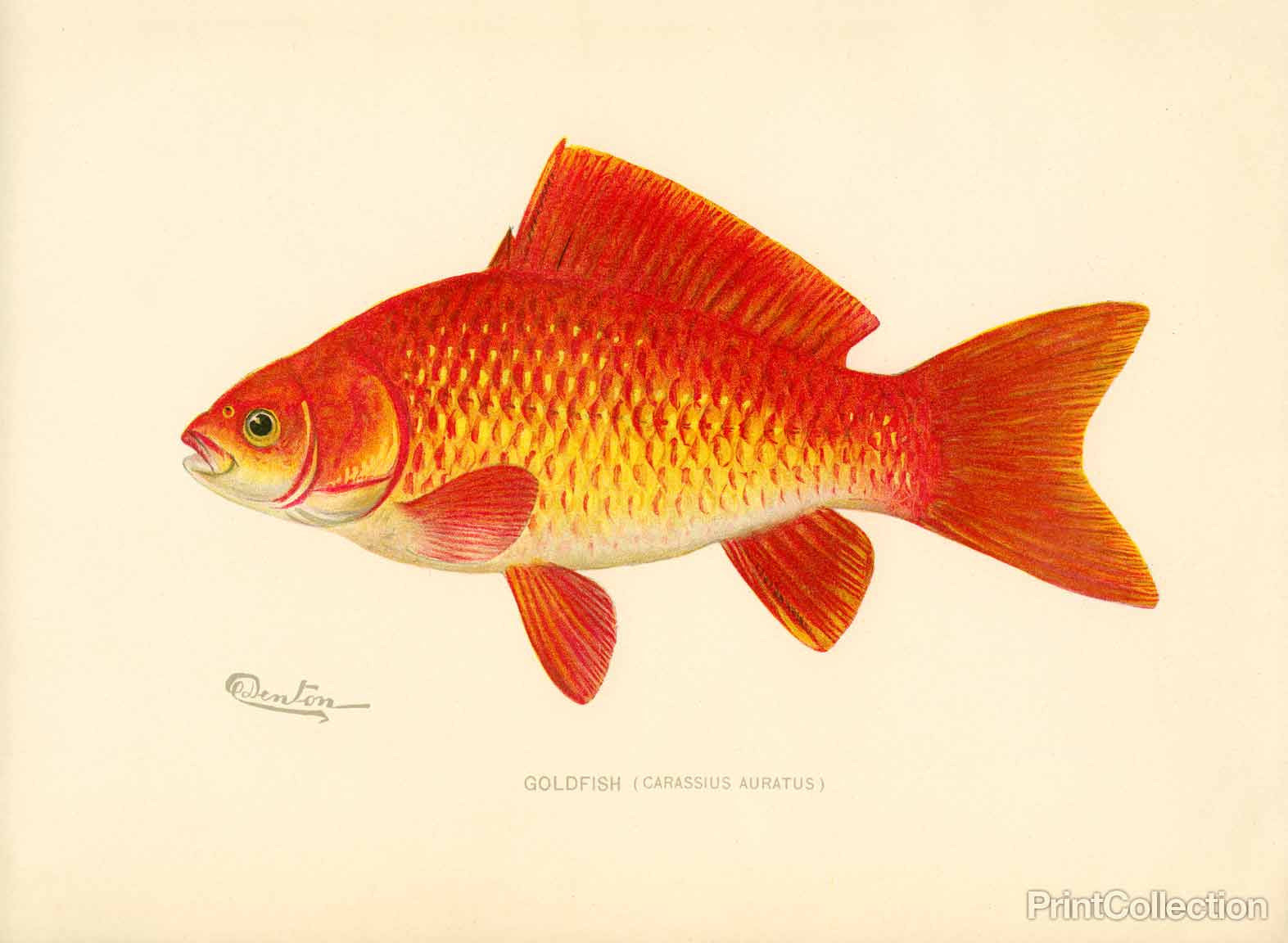 Print Collection - Goldfish