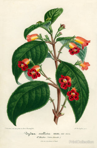 Kohleria of Central America