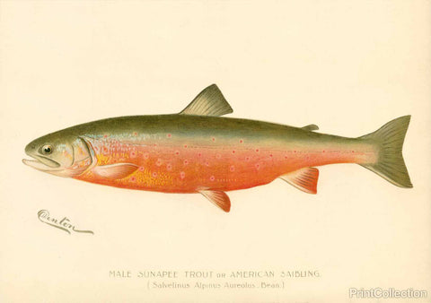 Male Sunapee Trout