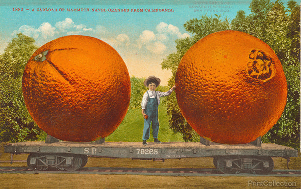 Mammoth Navel Oranges from California