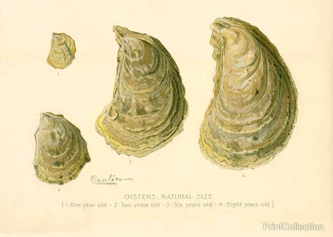 Oysters Natural Size