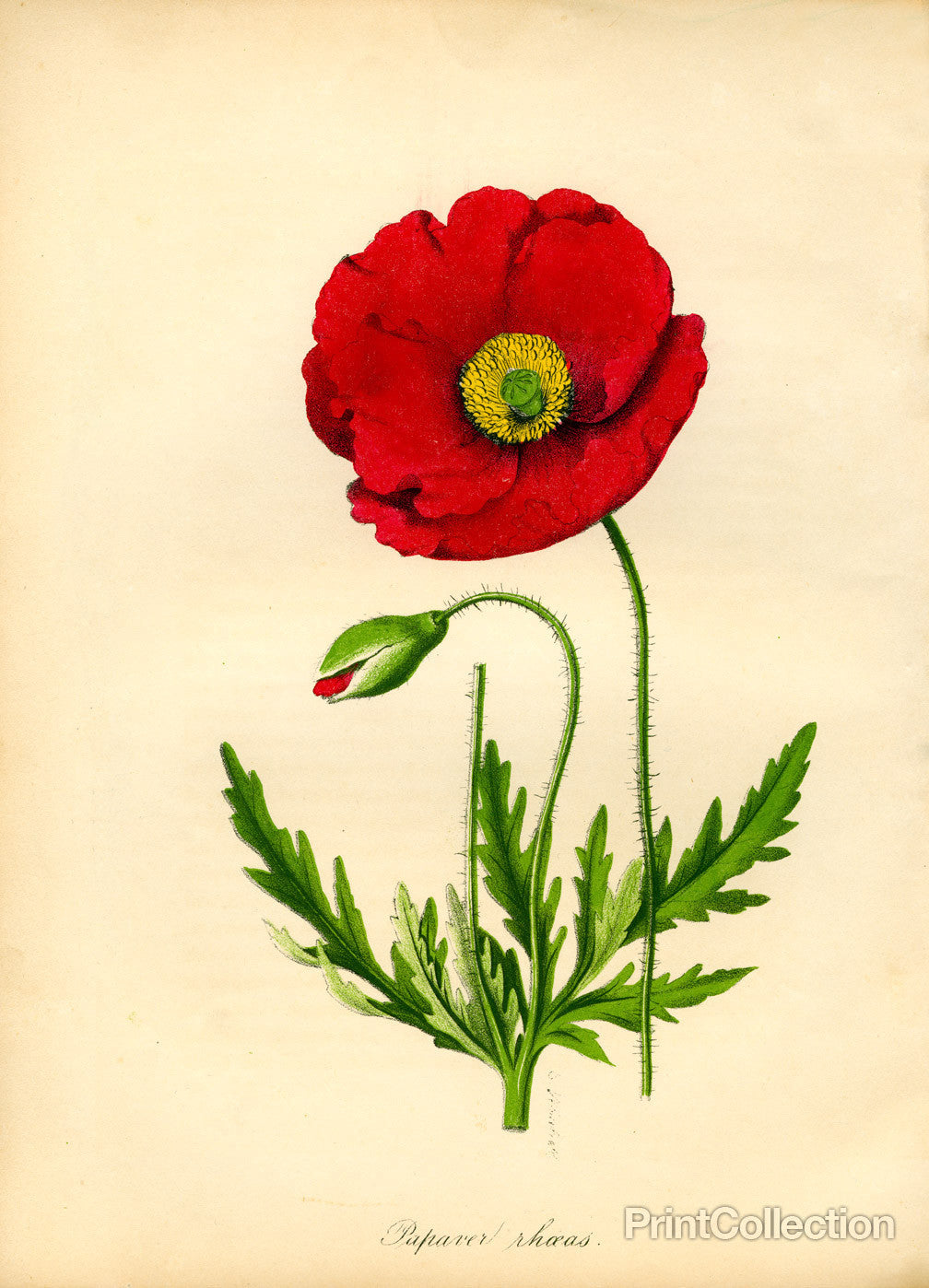 Print Collection Papaver Rhoeas Red Poppy