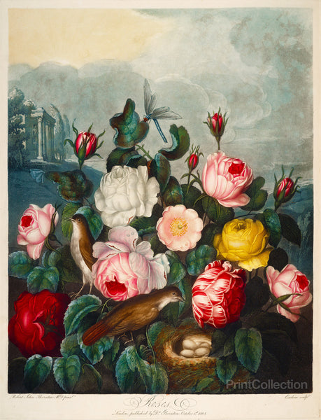 Roses by Thornton