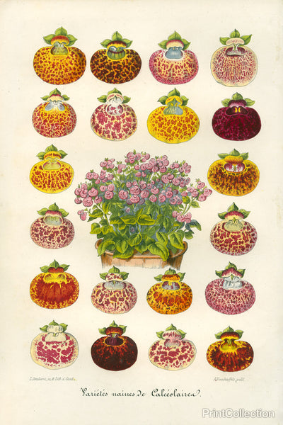 Slipper Flower Varieties