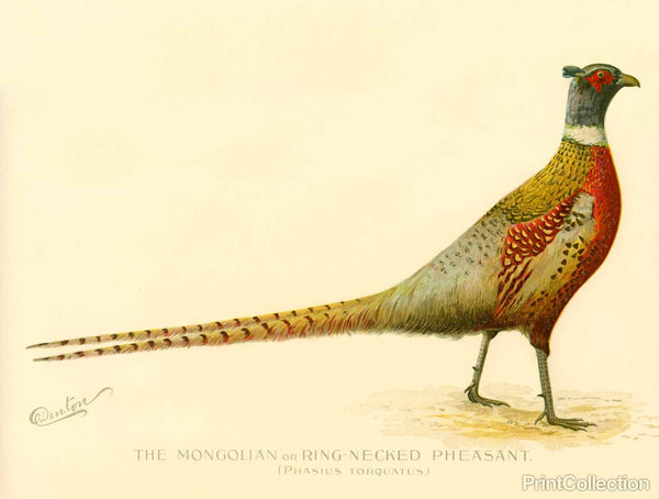 The Mongolian or Ring-Necked Pheasant