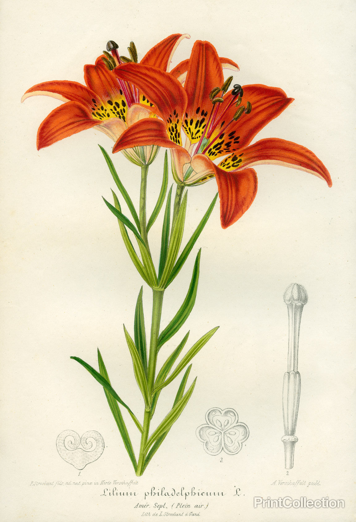 Print collection western red lily western red lily izmirmasajfo