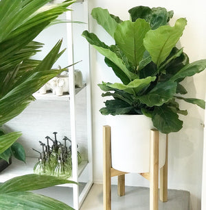 "Fiddle Fig Bush 8"" (pot sold separately)"