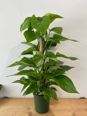 Pothos Tower 6""
