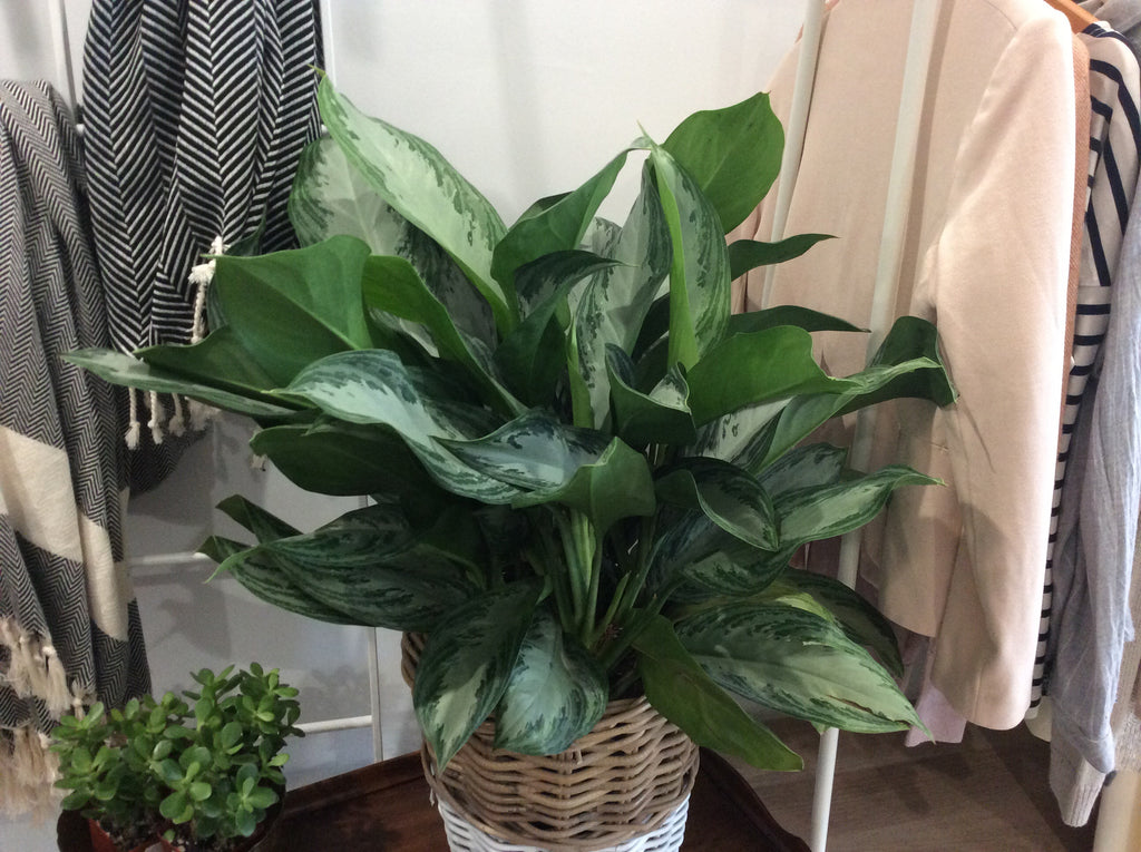 "Aglaonema Plant 10"" in Basket"
