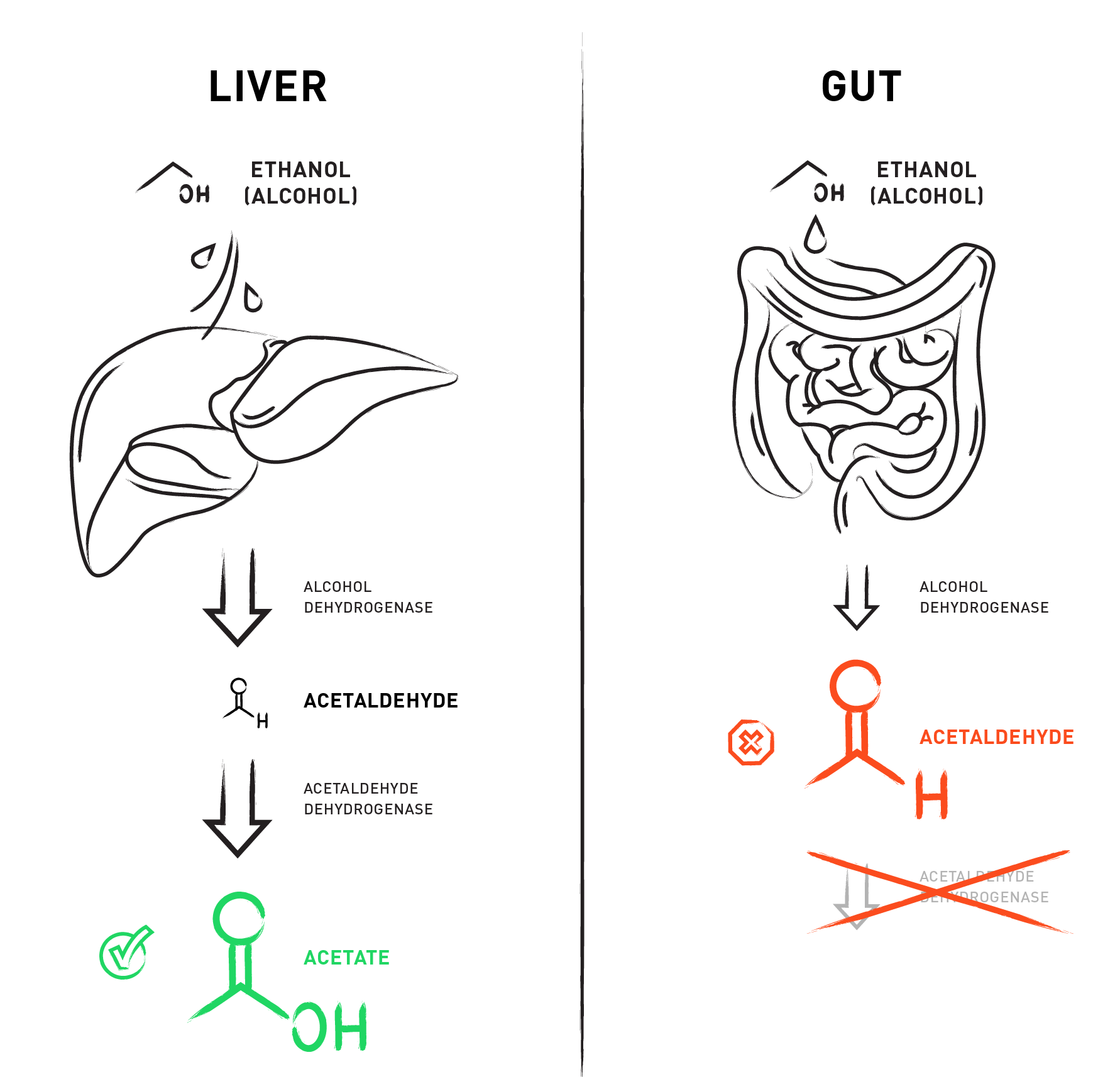 Metabolizing alcohol in the liver versus the gut