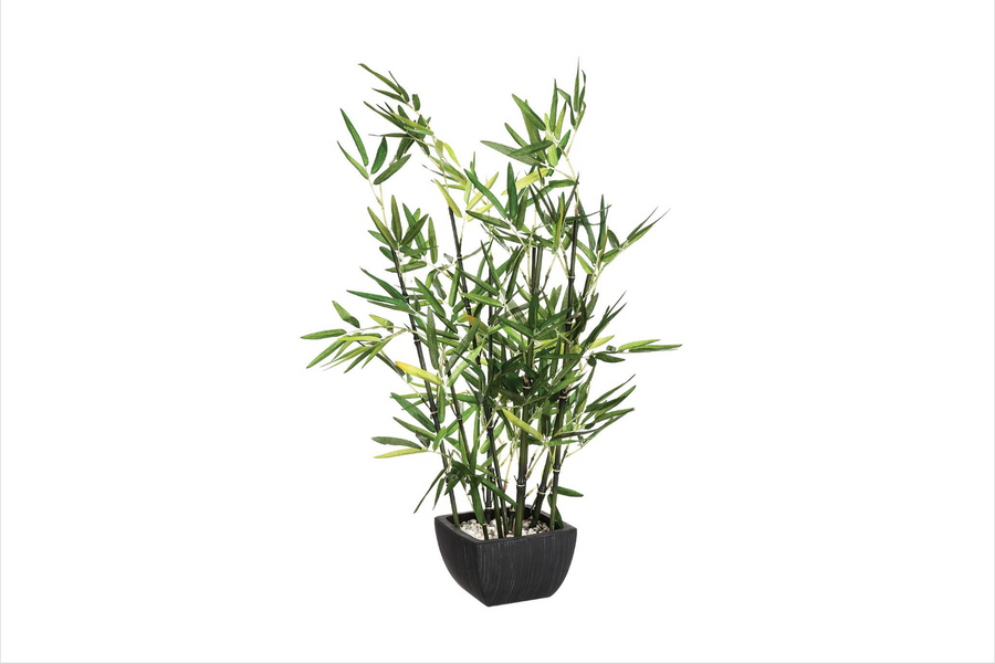 BAMBOO IN POT - PLANT