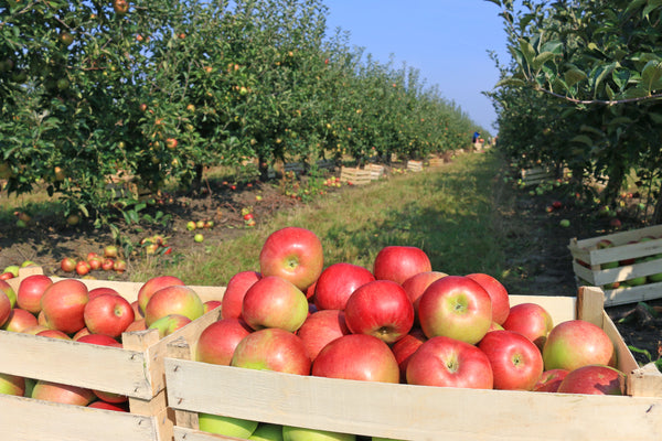 It's apple picking season – stay warm